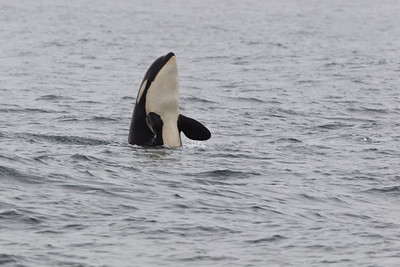 It's not too unusual to see orca's but it's hard to catch a spy hop like this.