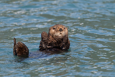 There are a lot of other animals in Alasaka of course.  If you cruise the Kenai Fjords out of Seward you'll see otters.