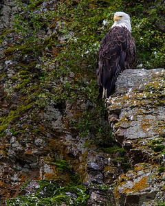 The bald eagle watches over everything from his majestic perch