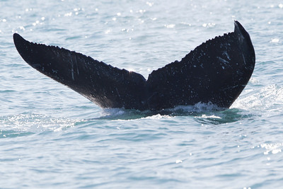 More common than the whale breach is the humpback whale tail.  A remarkable sight nonetheless.