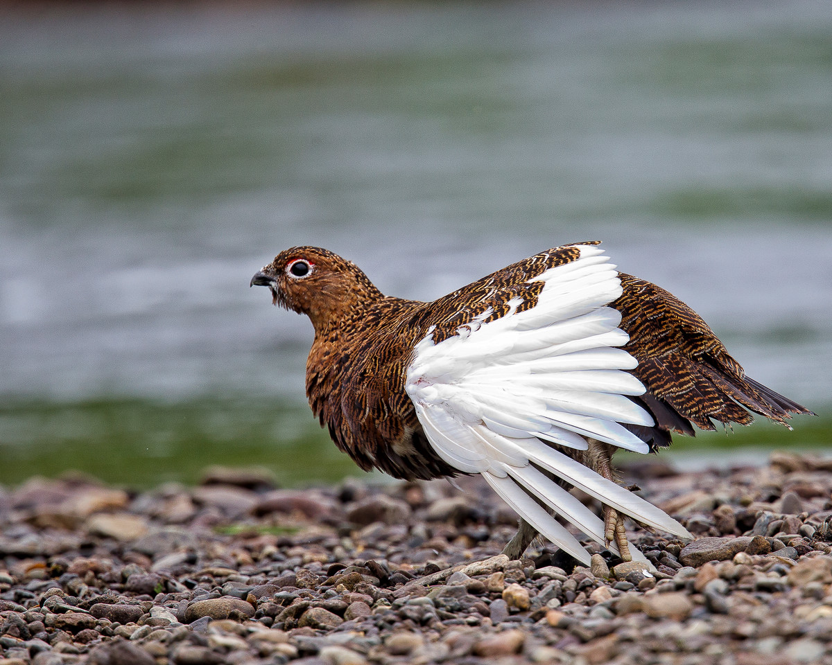 But even here it wasn't just bears.  This ptarmigan was displaying to make sure he didn't go unnoticed