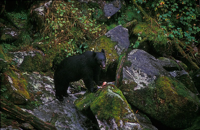 black bear dining on salmon