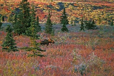 Alaska colors with moose