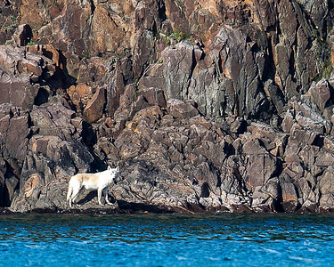 Although I've always known there were wolves around, this was my first chance to grab a photo.  We caught this white one crossing a rocky shoreline and it took him several minutes to get to a point where he could disappear into the brush.