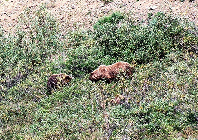 Grizzly bears, Denali National Park