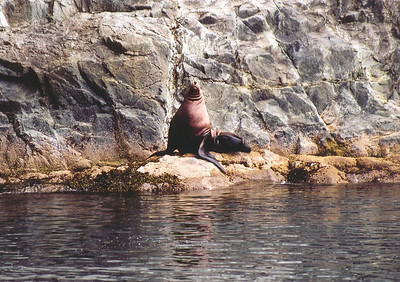 Steller Sea Lion at Prince William Sound