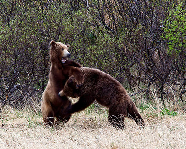 """Two bears sparring """"just for practice"""""""