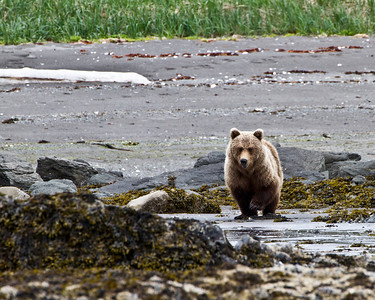 Grizzly on the mud flats looking for clams