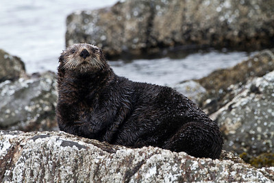 A sea otter up on the rocks and out of the water for a moments rest on shore.