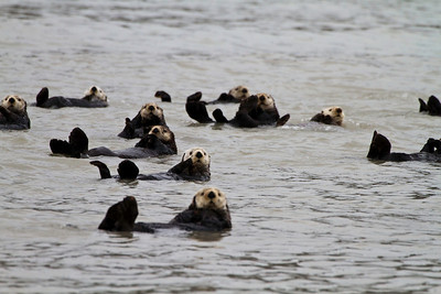 """This is what a """"raft of otters"""" looks like"""