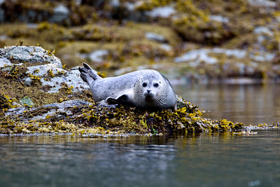 Seal pup on the side of the bay, Katmai Alaska