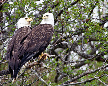Two bald eagles surveying the scene
