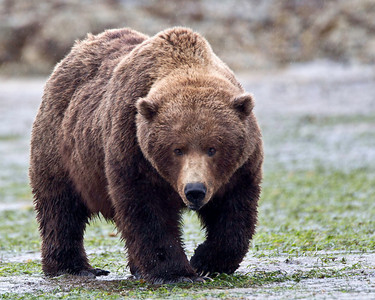 Grizzly sow looking for clams in the mud flats