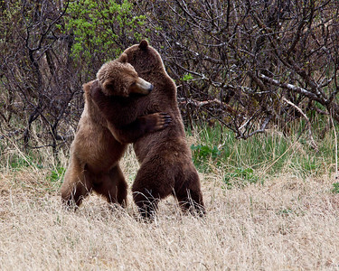 Two grizzlies demonstrate a real bear hug
