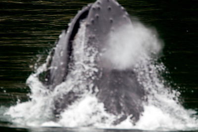 Humpback whale breaching.  I was fast, but not quite fast enough to get it fully in focus