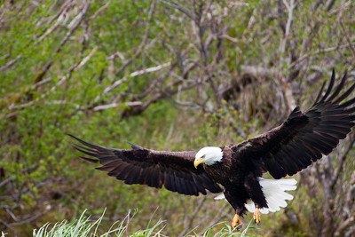 Bald Eagle coming in for a landing on the nest.  Feet down, flaps, we want a gentle landing on those eggs.
