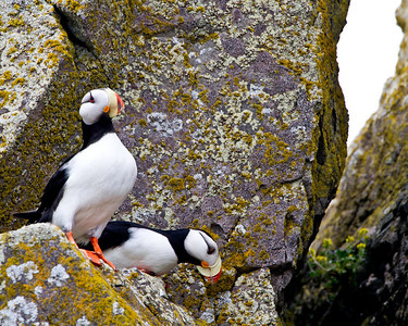 Horned puffins watch us go by.