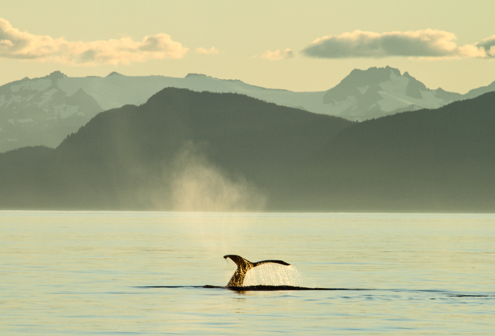 A whale flips his tail on an Alaska cruise. It's just one of the sights you'll see cruising to Alaska.