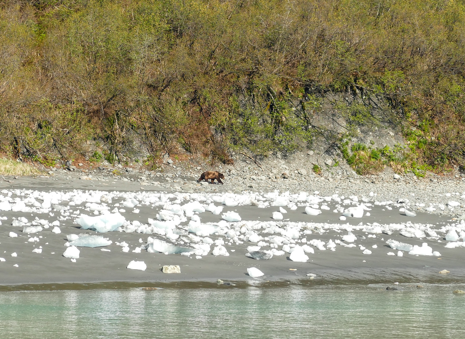 Brown bear strolls near a beach with white bits of icebergs.