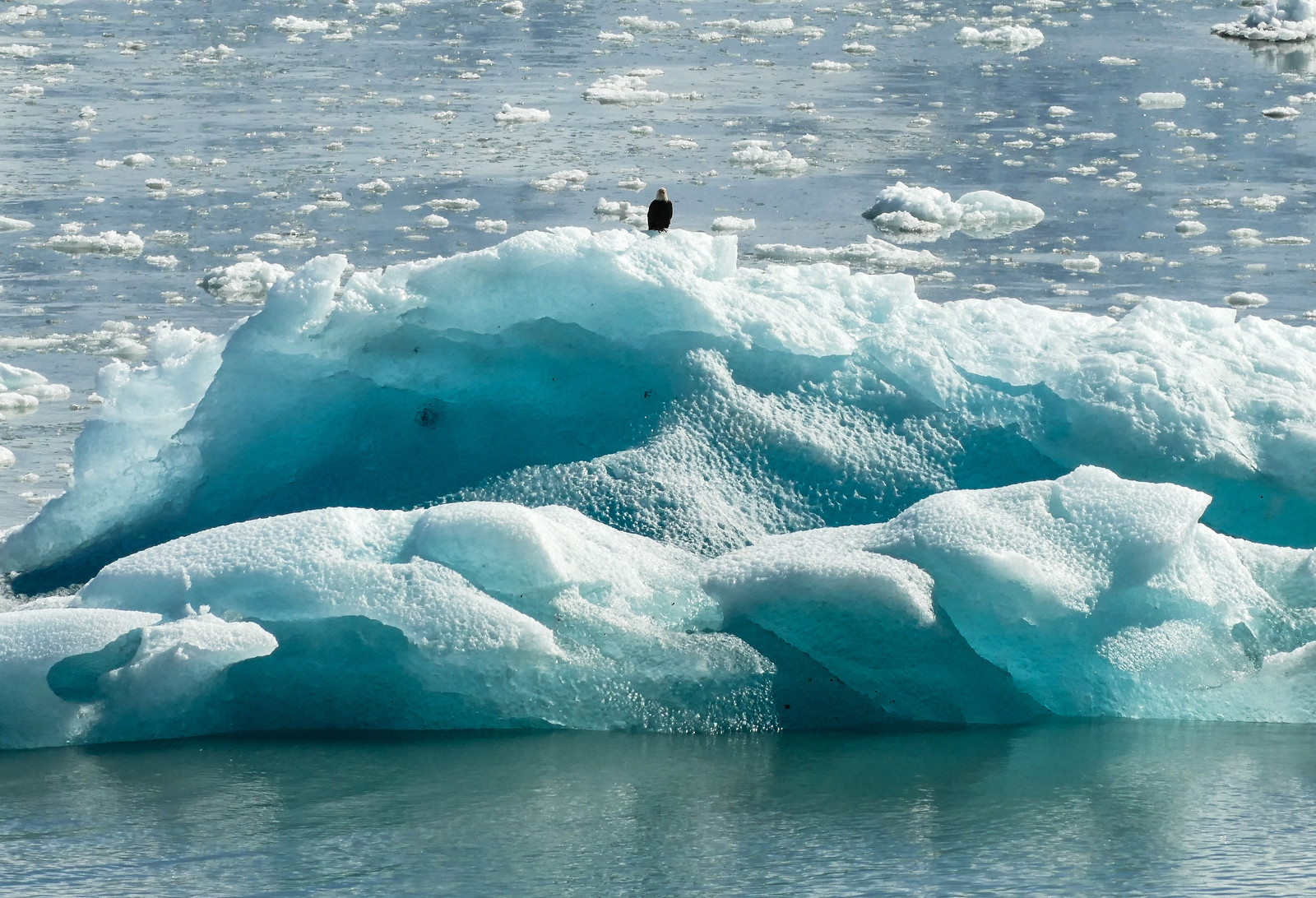 Bald eagle perched on an in ice berg in Alaska.
