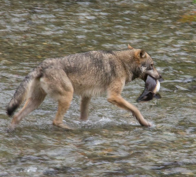 A wolf catches breakfast at Fish Creek near Hyder, Alaska.