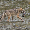 wolf catches salmon