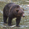 grizzly walking in fish creek