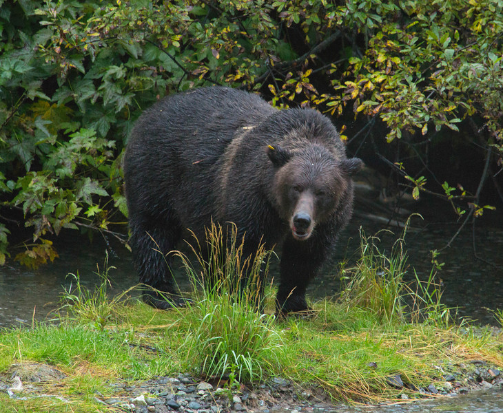 A black grizzly bear walks out from green underbrush in Alaska.