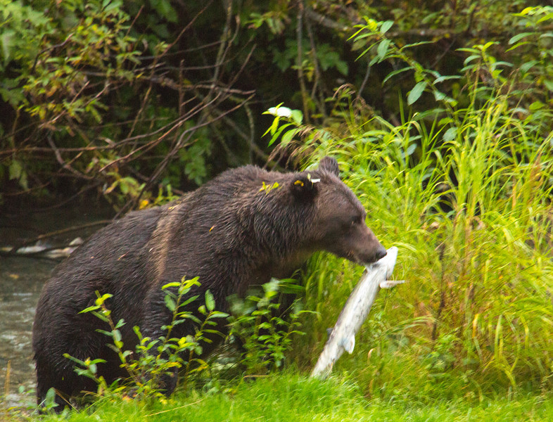 This grizzly caught her breakfast at Fish Creek near Hyder, Alaska