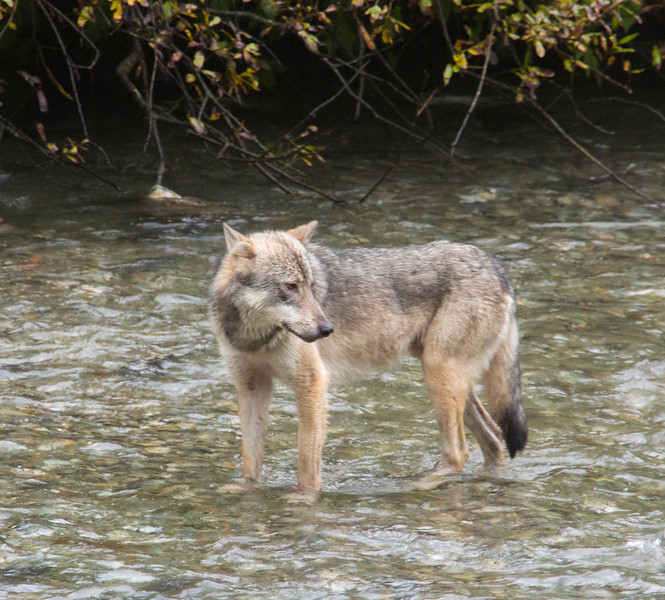 Wolf walking up Fish Creek in Hyder, Alaska