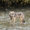 wolf at fish creek