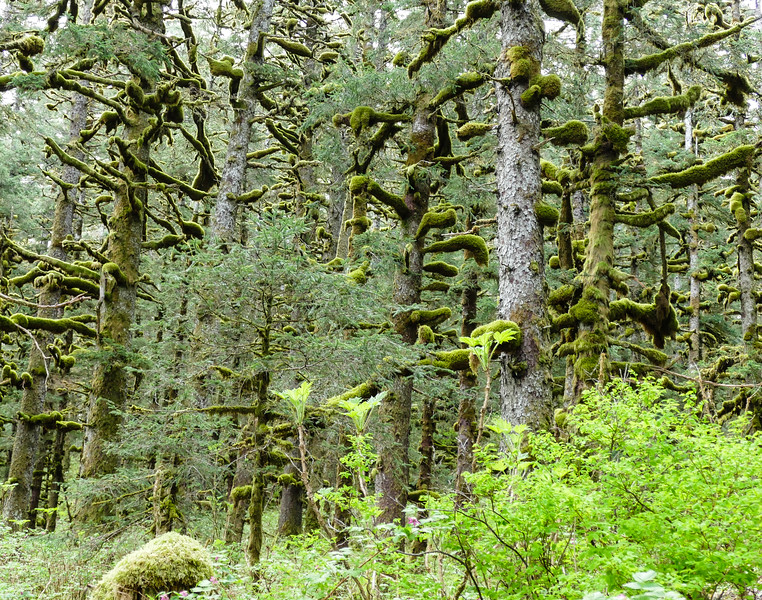 Green moss drips from the trees in the temperate rainforest of Kodiak, Alaska.