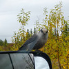 A bird checks us out at a rest stop on Top of the World Highway