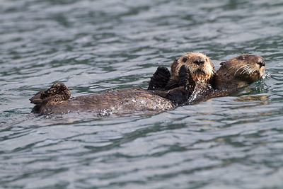 Otters Mom and pup swimming