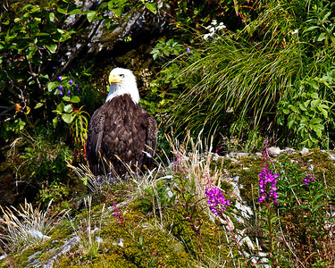 This eagle seems to prefer the fireweed