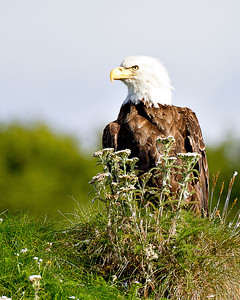 Even the bald eagles seem to like the flowers