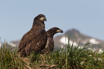 Two juvenile bald eagles on the nest