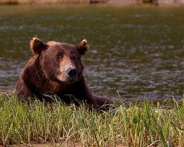 Oh yes, Alaskan Brown Bear, alias Grizzly
