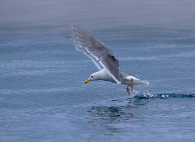Seagull on way to Tracy's Arm