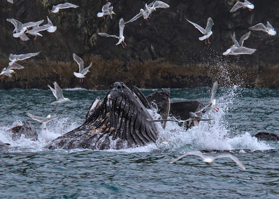 If you look carefully, you can see fish flying around near the mouths of the whales!