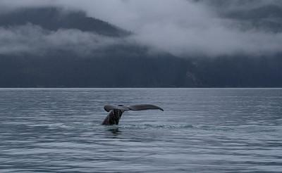 Humpback Whales at Seward