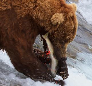 Brown bears at Katmai National Park
