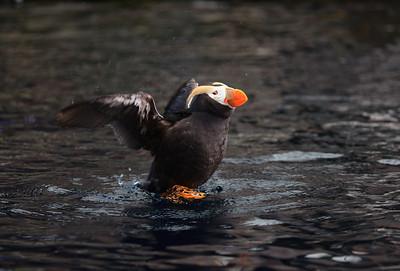 Puffin at Alaska Sealife Centre