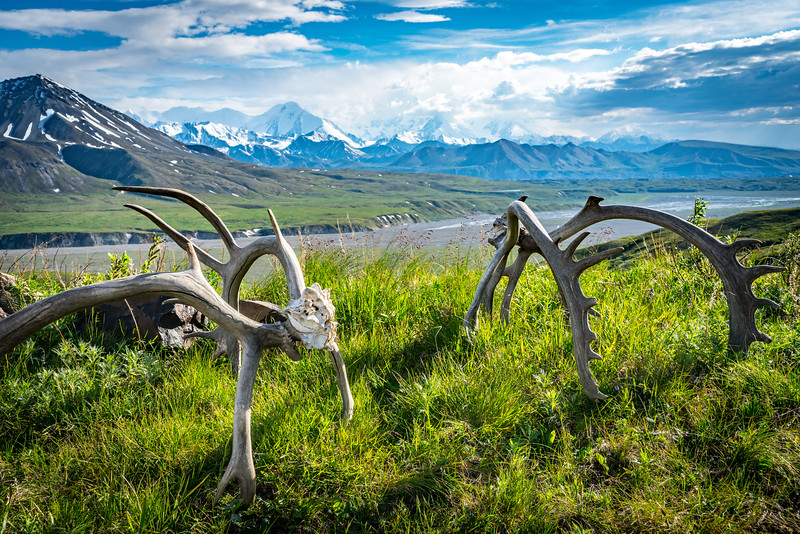 Caribou Antlers in Denali National Park