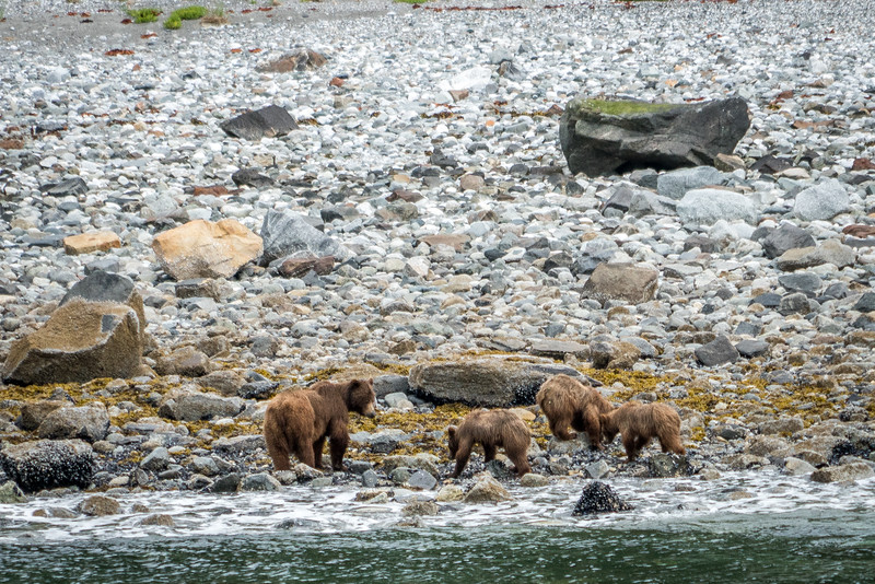 Brown bears on the shore of Glacier Bay