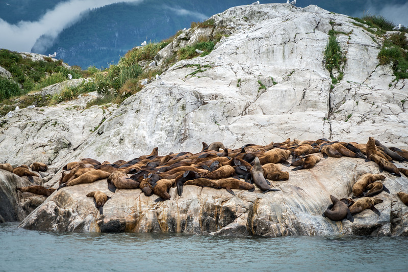 Sea lions in Glacier Bay