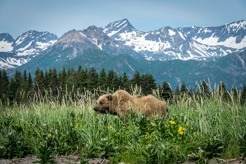 Grizzly Bear in Lake Clark National Park