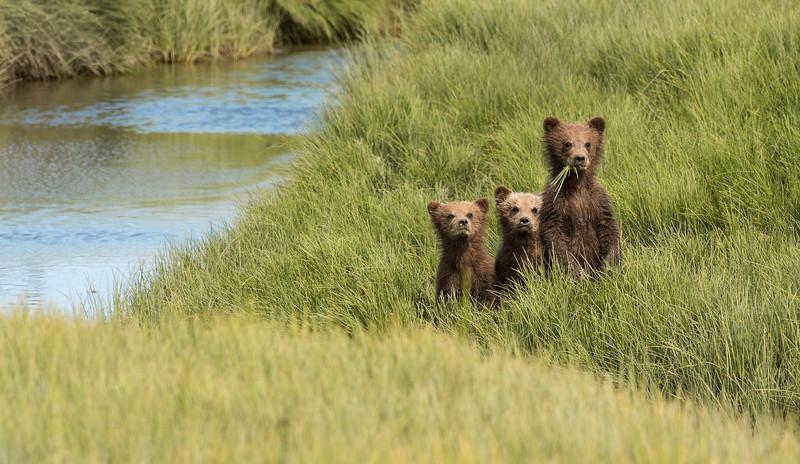 A Trio Of Cubs