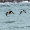 A Pair Of Puffin Species