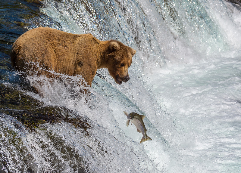 No Salmon Dinner Tonight